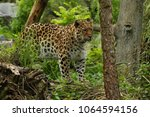 endangered amur leopard in the... | Shutterstock . vector #1064594156