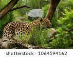 endangered amur leopard in the... | Shutterstock . vector #1064594162