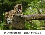 endangered amur leopard in the... | Shutterstock . vector #1064594186