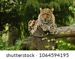 endangered amur leopard in the...   Shutterstock . vector #1064594195