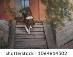 boder collie dog is getting... | Shutterstock . vector #1064614502
