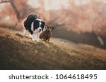 basset and border collie... | Shutterstock . vector #1064618495
