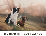basset and border collie... | Shutterstock . vector #1064618498