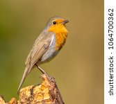cute red robin  erithacus...   Shutterstock . vector #1064700362
