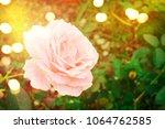 roses in the garden | Shutterstock . vector #1064762585
