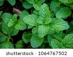 Peppermint Herb Or Vegetables...