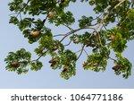 ceiba pentandra full bloom of... | Shutterstock . vector #1064771186