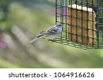 a single cute chipping sparrow  ... | Shutterstock . vector #1064916626