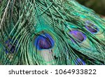 peacock feather plumage  macro... | Shutterstock . vector #1064933822