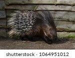 porcupine   the prickliest of... | Shutterstock . vector #1064951012