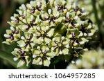 Antelope Horn Milkweed Plant ...
