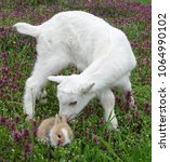 bunny rabbit and goatling baby... | Shutterstock . vector #1064990102