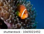 Clownfish  An Anemone Fish ...