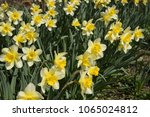 flowers daffodil yellow. spring ... | Shutterstock . vector #1065024812
