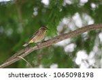 tiny savannah sparrow bird... | Shutterstock . vector #1065098198