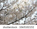 white cherry blossoms in full... | Shutterstock . vector #1065102152