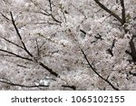 white cherry blossoms in full... | Shutterstock . vector #1065102155