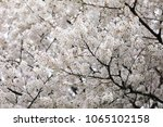 white cherry blossoms in full... | Shutterstock . vector #1065102158
