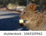 The Close up Portrait of the Cute Happy Quokka, the native Rottnest Island animal Eating the Piece of Apple in the Natural Sun Light, Western Australia