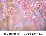pink blossoms on the branch... | Shutterstock . vector #1065134462