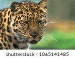 amur leopard  panthera pardus... | Shutterstock . vector #1065141485