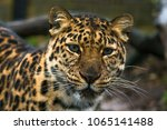 amur leopard  panthera pardus... | Shutterstock . vector #1065141488