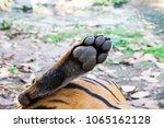 close up tiger feet | Shutterstock . vector #1065162128