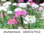 pink and white spider flowers... | Shutterstock . vector #1065217412