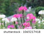 pink and white spider flowers... | Shutterstock . vector #1065217418