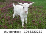 beautiful cute baby goat kid... | Shutterstock . vector #1065233282