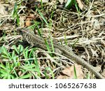pictured in the photo lizard... | Shutterstock . vector #1065267638