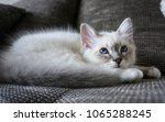 Stock photo birman cat kitten with beautiful blue eyes lying on the couch 1065288245