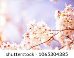 beautiful cherry blossom sakura ... | Shutterstock . vector #1065304385
