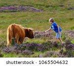 Feeding A Dartmoor Cow