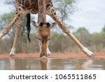 Stock photo a horizontal close up colour image of a giraffe giraffa camelopardalis drinking at a 1065511865