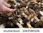mushroom. morchella esculenta....   Shutterstock . vector #1065580106