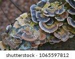The Turkeytail Fungus  Trametes ...