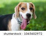 beagle dog with a long tongue... | Shutterstock . vector #1065602972