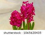 pink hyacinth  hyacinthus ...   Shutterstock . vector #1065620435