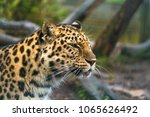 amur leopard  panthera pardus... | Shutterstock . vector #1065626492