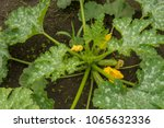Zucchini Plant And Flower ...