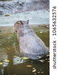 capybara in thai  thailand.   Shutterstock . vector #1065632576