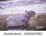 capybara in thai  thailand.   Shutterstock . vector #1065632582
