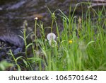 Grasses and other plants growing on the edge of a creek in Montana. Summer day setting.