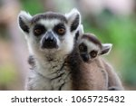 ring tailed lemurs and their... | Shutterstock . vector #1065725432
