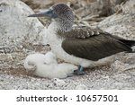 Blue Footed Booby Baby In Nest...
