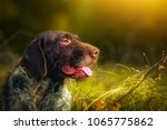 german wirehaired pointer...   Shutterstock . vector #1065775862