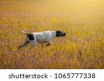 german shorthaired pointer...   Shutterstock . vector #1065777338