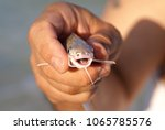 the catch of the day  a baby... | Shutterstock . vector #1065785576