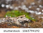 bufo bufo  common toad  | Shutterstock . vector #1065794192